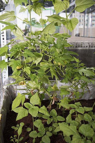 地瓜葉種植1個月紀錄-5