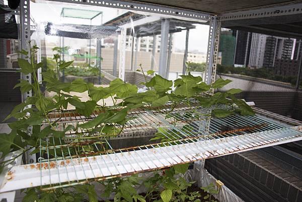 地瓜葉種植1個月紀錄-8