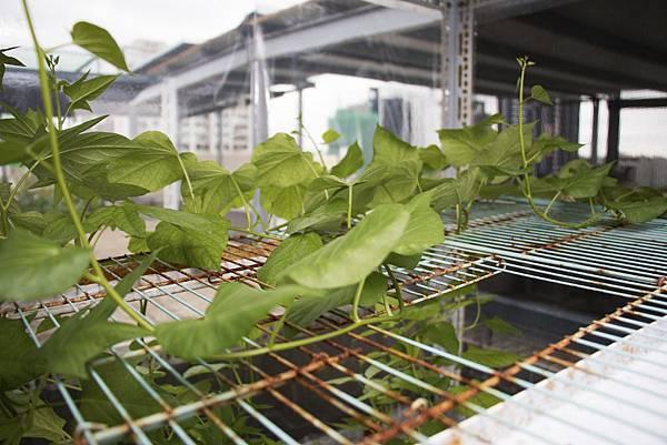 地瓜葉種植1個月紀錄-6