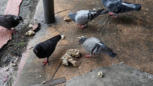 鴿子吃雞肉