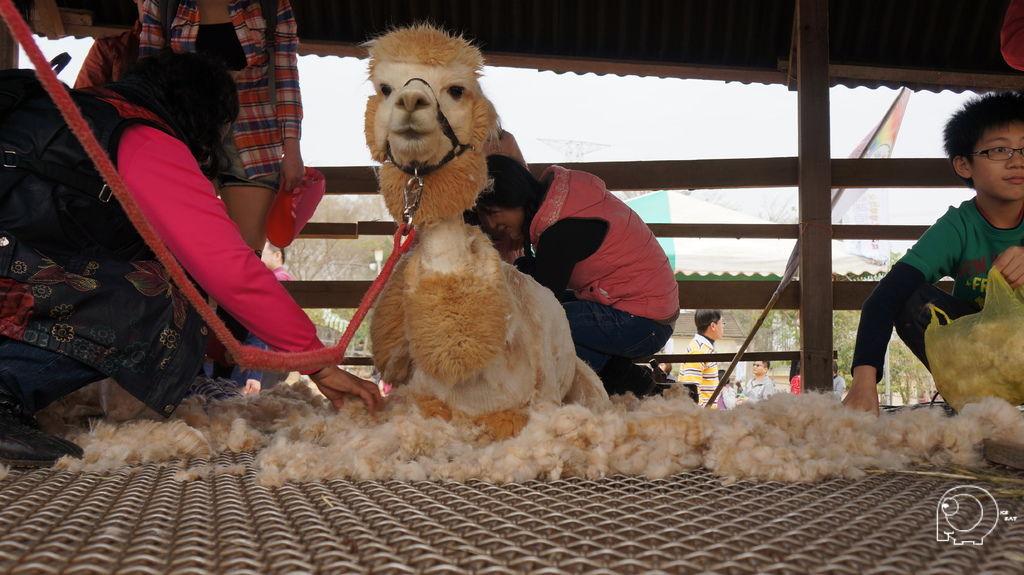 羊駝剃毛秀