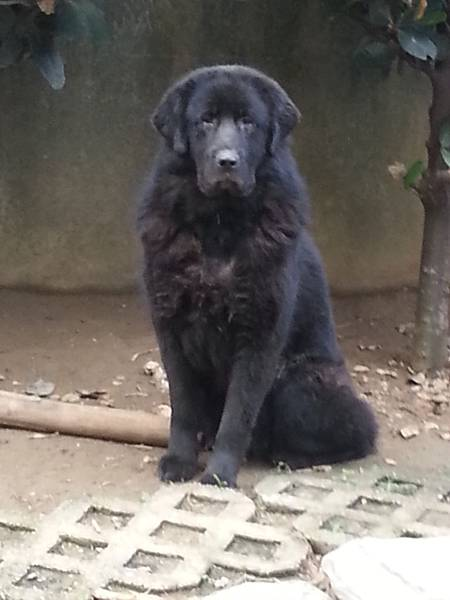 西藏獒犬安寶,寶佳,國花