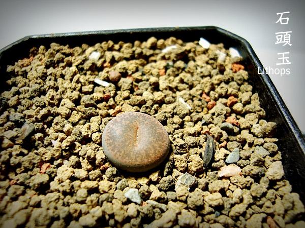 石頭玉DSC09249.JPG