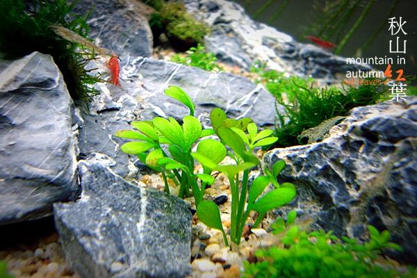 秋山紅葉2週65