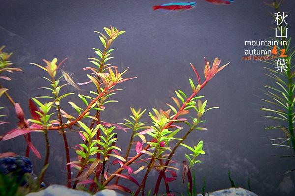 秋山紅葉2週80