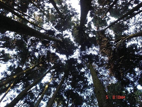 由人工林下往上拍