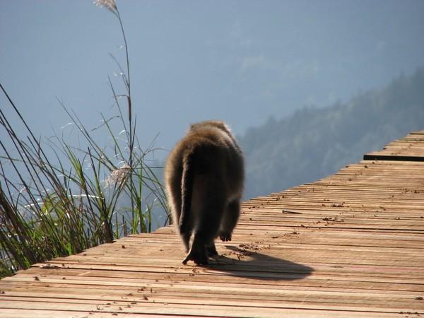 太平山莊外的獼猴