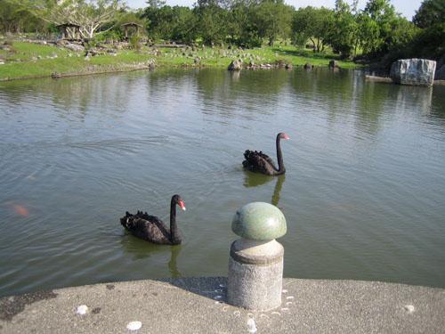羅東運動公園美麗黑天鵝