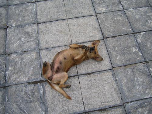 德化社區小黃狗