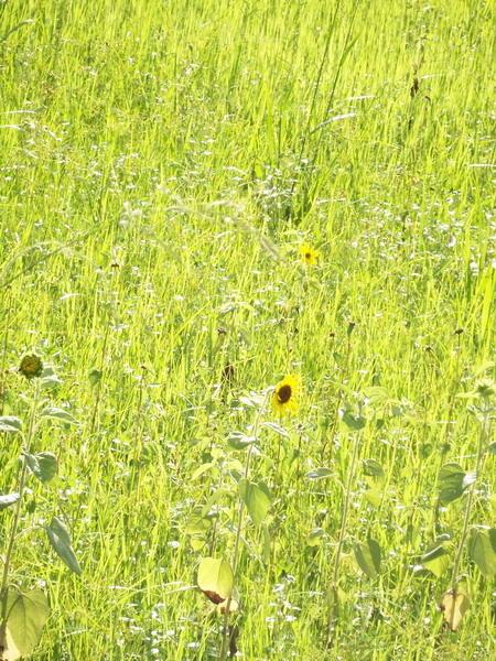 發亮的草中居然也有向日葵.JPG
