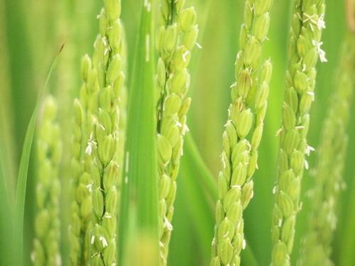 陽光下閃閃亮的稻米.JPG