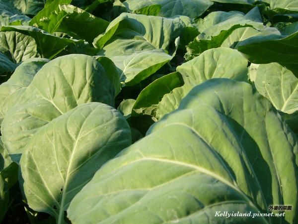 芥藍菜-2.jpg