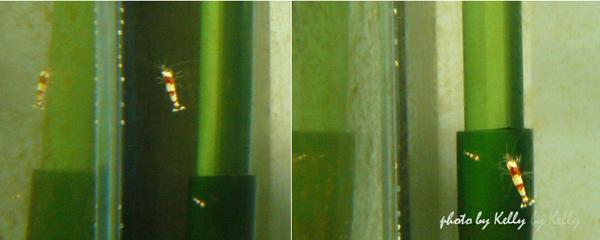 蝦缸_第二缸-23.jpg