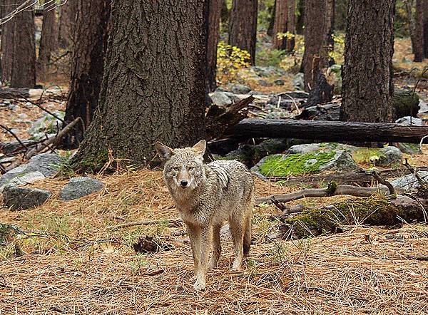 800px-Coyote_in_forest[1]