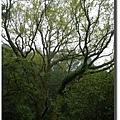2008022904_高聳的樹木.JPG
