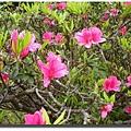 杜鵑_1紅花.JPG