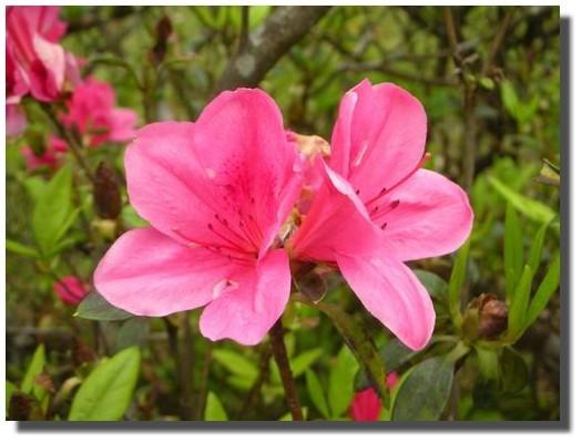 杜鵑_2紅花.JPG