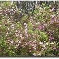 杜鵑_3粉紅花.JPG