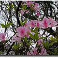 杜鵑_4粉紅花.JPG