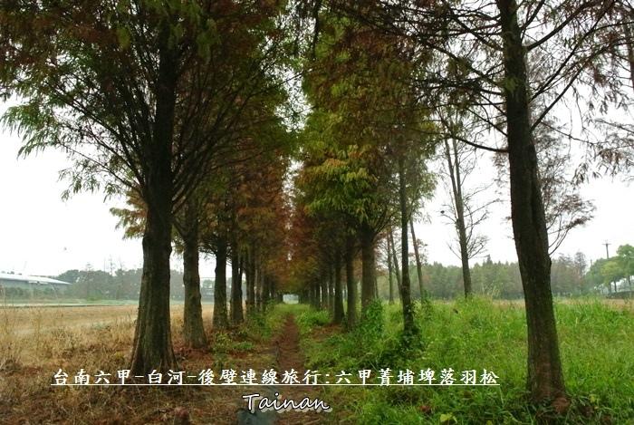 台南六甲菁埔埤落羽松9.JPG