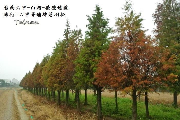 台南六甲菁埔埤落羽松8.JPG