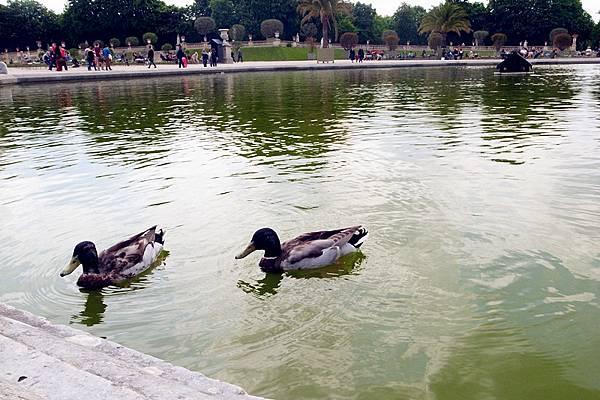 Jardin du Luxembour小鴨戲水