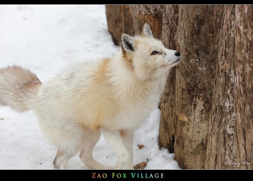 fox-vil21.jpg