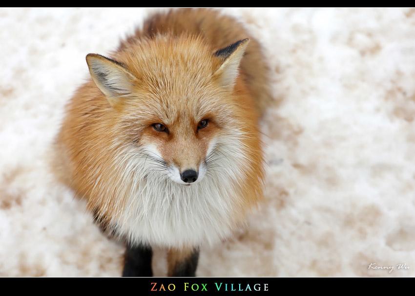 fox-vil24.jpg