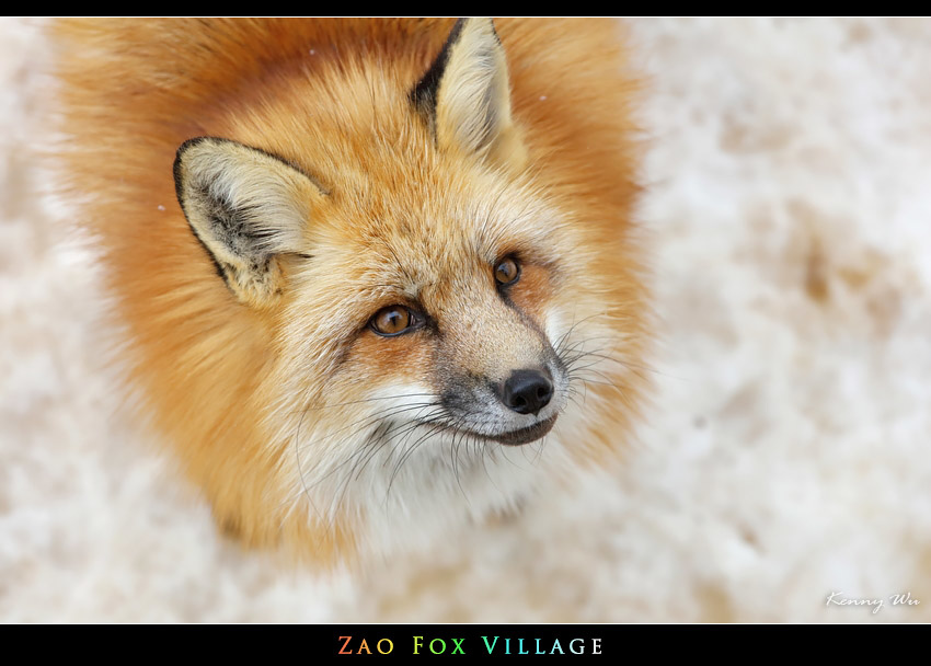 fox-vil25.jpg