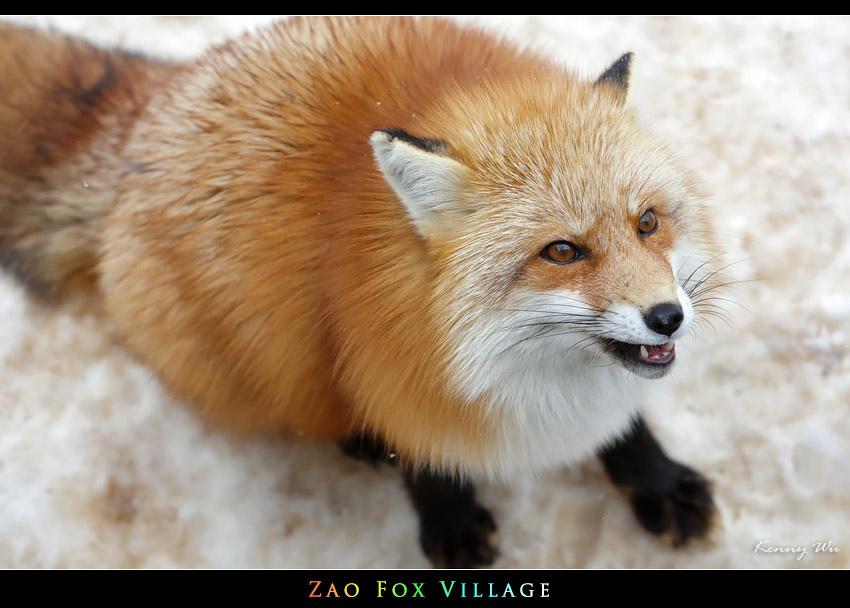 fox-vil31.jpg