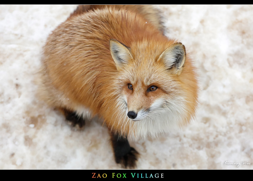 fox-vil34.jpg