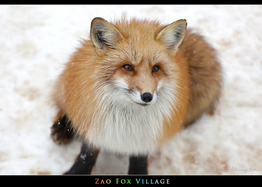 fox-vil39.jpg