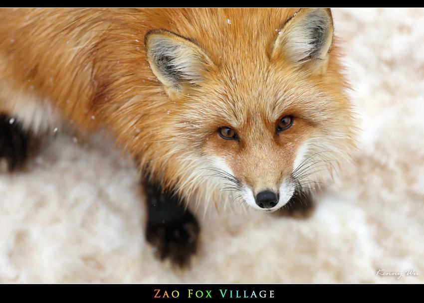fox-vil41.jpg