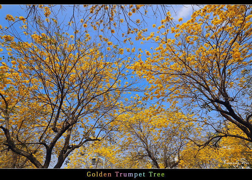 goldtr33.jpg