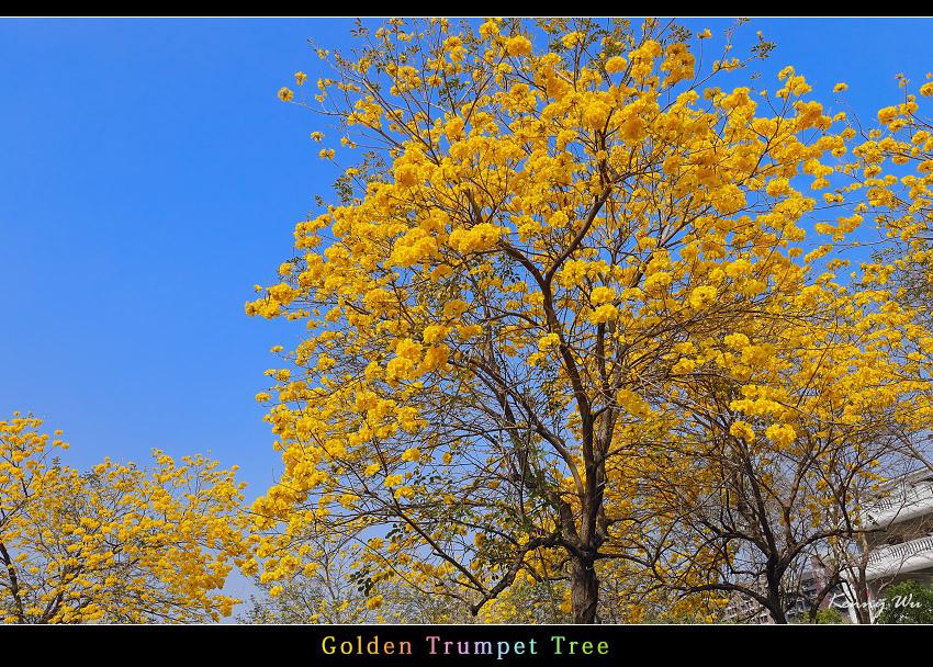 goldtr37.jpg