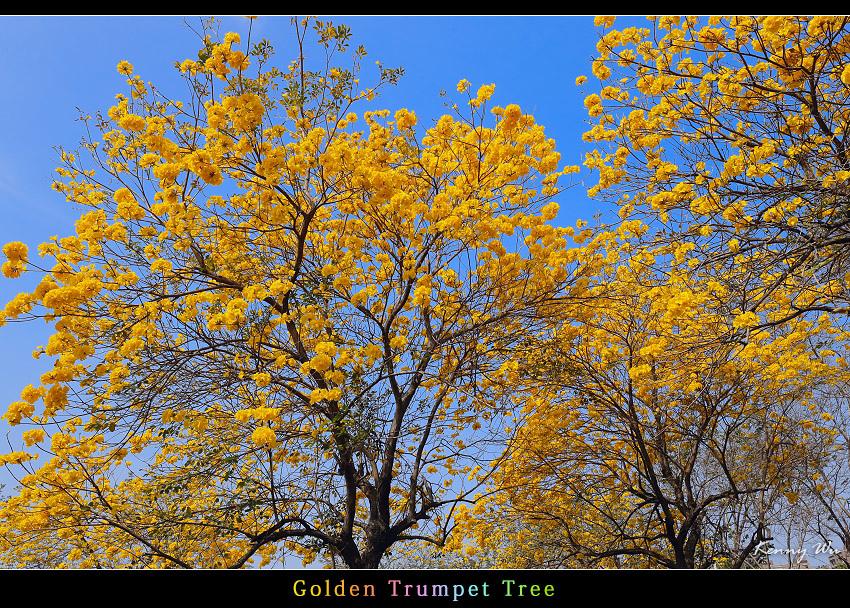 goldtr38.jpg