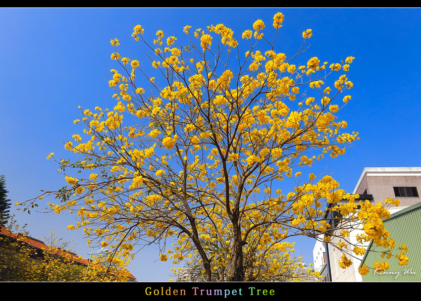 goldtr14.jpg