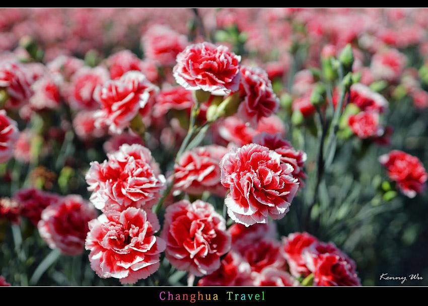 carnation03.jpg
