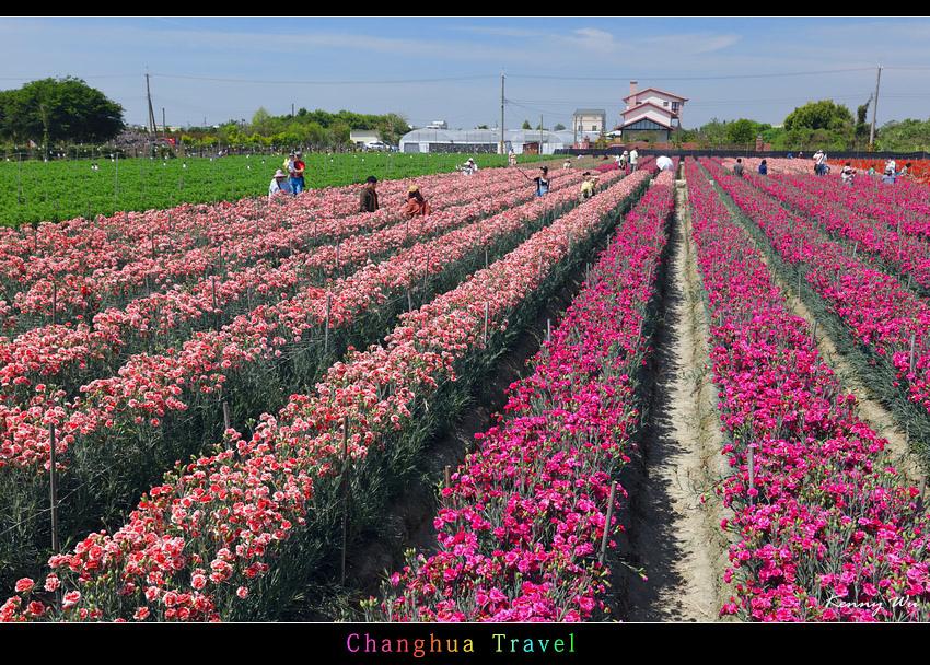 carnation06.jpg
