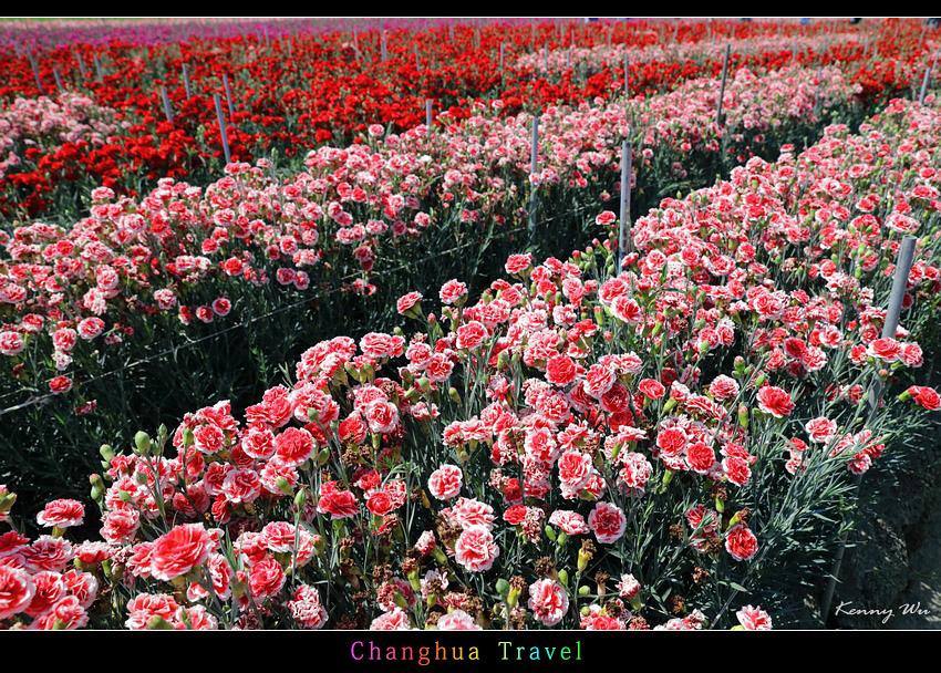 carnation05.jpg