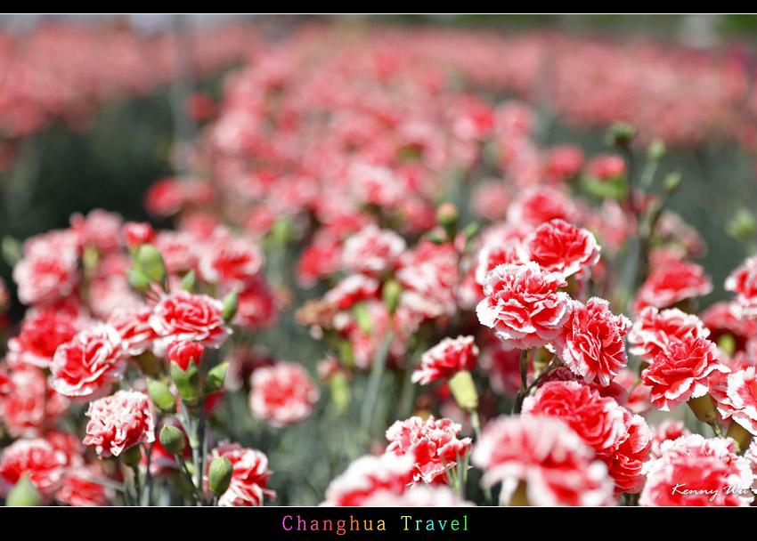 carnation13.jpg