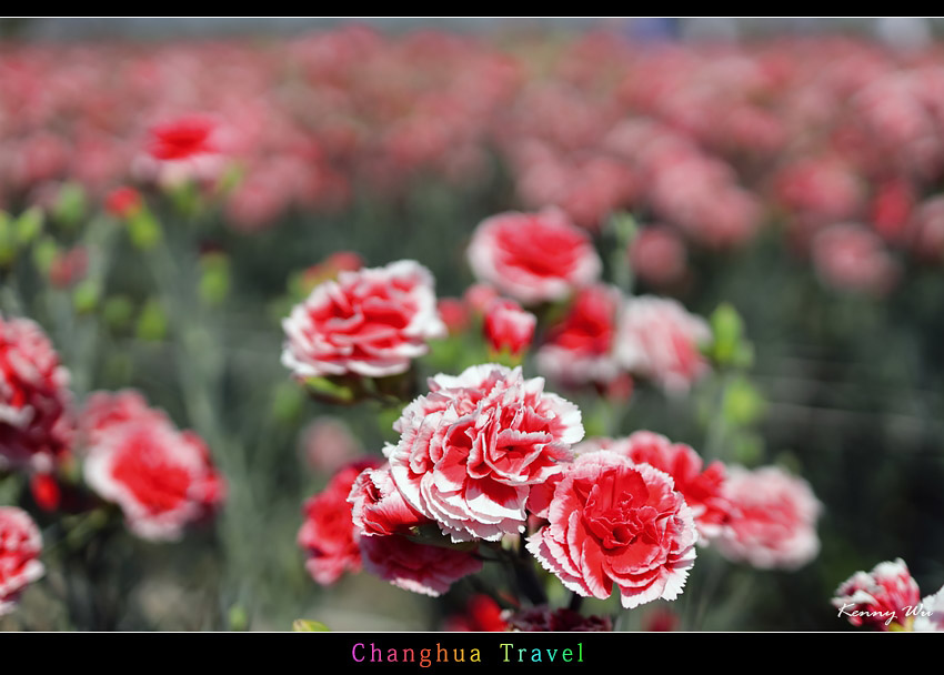 carnation07.jpg