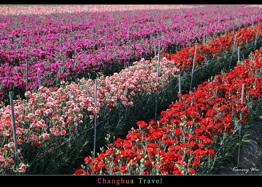 carnation16.jpg