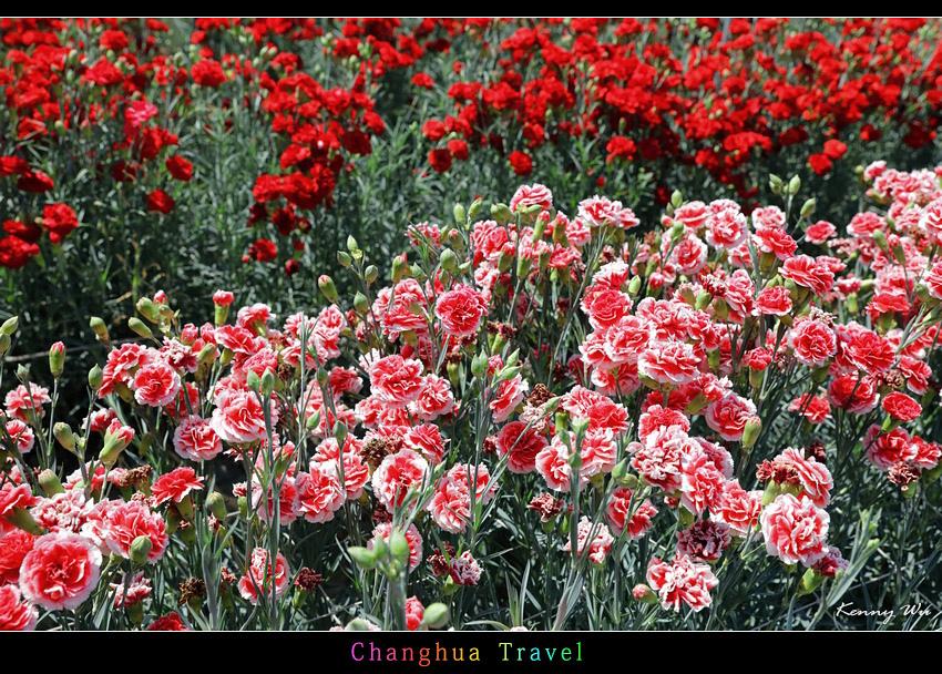 carnation17.jpg