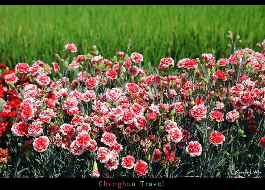 carnation19.jpg