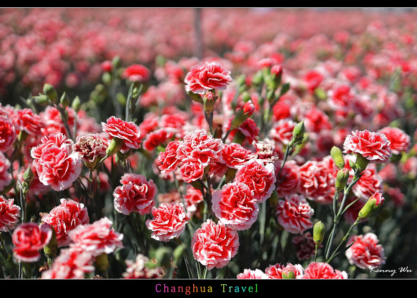 carnation21.jpg