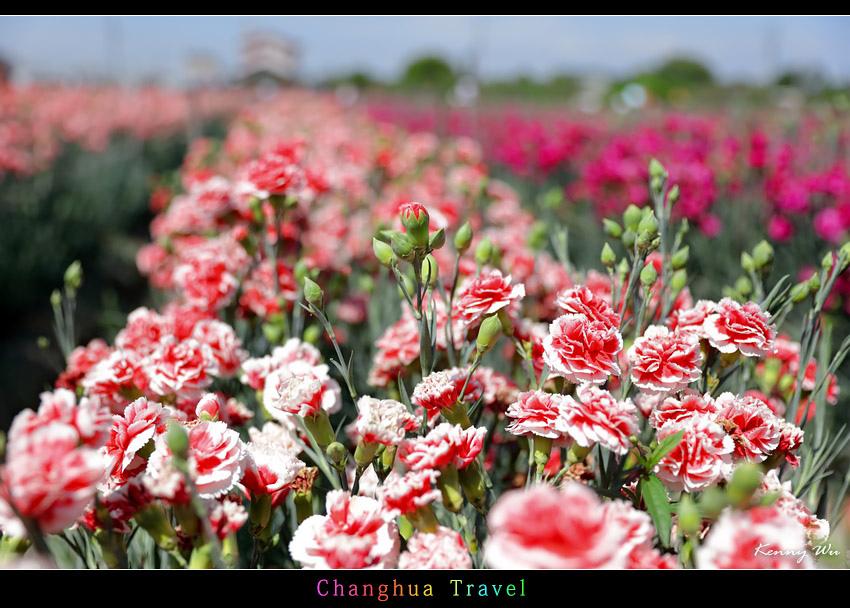 carnation24.jpg
