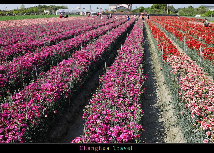 carnation25.jpg