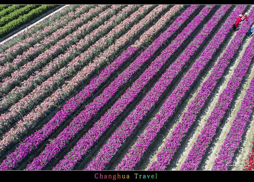 carnation33.jpg