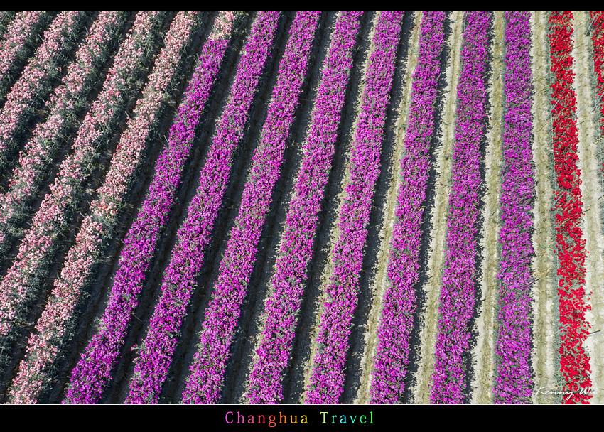 carnation36.jpg